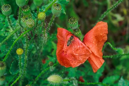 Papaver rhoeas, common, corn, Flanders, red poppy, corn rose, field is flowering plant poppy family Papaveraceae