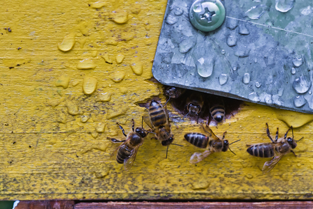 From beehive entrancebees creep out. Honey-bee colony guards the hive from looting honeydew. The bees return to the beehive after the honeyflow. Bee-guard in the beehive entrance. Swarm hived readily