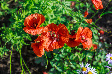Bees collect nectar from poppies early in the morning. Many bees are on the poppy petals.