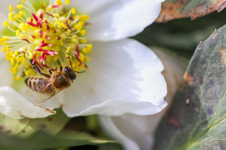 Honey bee collects nectar and pollen in early spring from hellebore, hellebores, Helleborus flowering plants in the family Ranunculaceae. Pistils and stamens of a flower close-up