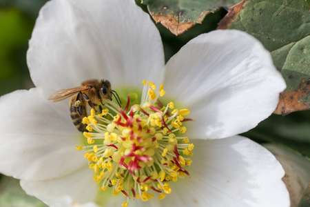 Honey bee collects nectar and pollen in early spring from hellebore, hellebores, Helleborus flowering plants in the family Ranunculaceae.