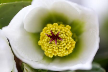 hellebore, hellebores, Helleborus flowering plants in the family Ranunculaceae. Pistils and stamens of a flower close-up Imagens