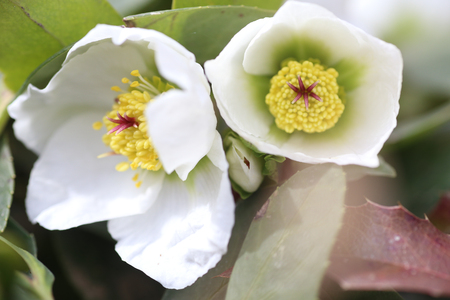 hellebore, hellebores, Helleborus flowering plants in the family Ranunculaceae. Pistils and stamens of a flower close-up Banco de Imagens