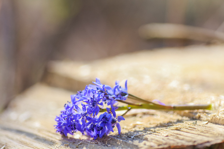 Sprig Scilla Squill , Scilla bifolia lying on the stump. Bright spring flower of Scilla Bifolia closeup. Bluebells in a spring forest, macro shot. Copy space. Stock Photo