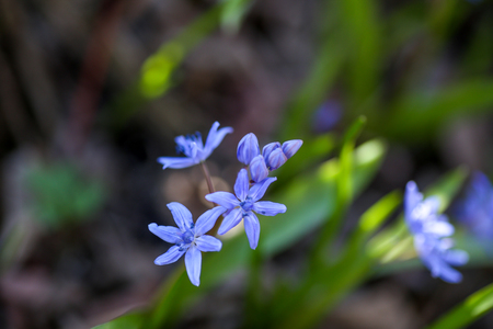 Blue flowers of the Scilla Squill blooming in April. Bright spring flower of Scilla Bifolia closeup - Bluebells in a spring forest, macro shot with green soft light and blurred background.