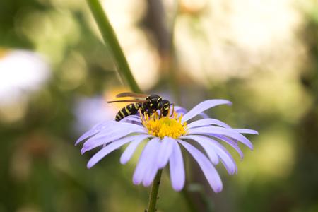 wasp on purple flower with yellow center Symphyotrichum novi-belgii , New York aster
