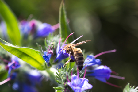 Honey bee collects nectar from Echium vulgare, vipers bugloss, blueweed. Collect pollen in the meadow. Detailed image of the bee collecting pollen.