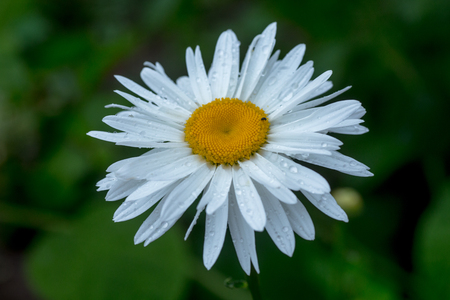 Leucanthemum maximum Shasta daisy, max chrysanthemum, Daisy Crazy, wheel, chain, chamomel, gang bang in flowerbed. One flowers of large white chamomile with drops of dew or rain on petals.