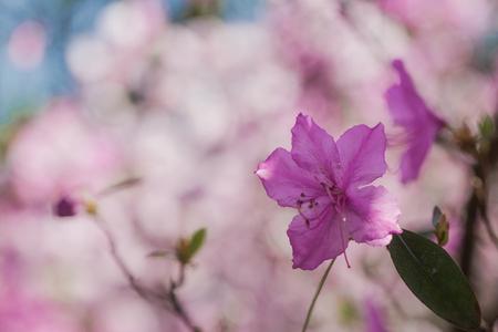 Arbusto Rosado De La Azalea En El Jardin Temporada De Floracion De Azaleas Fotos Retratos Imagenes Y Fotografia De Archivo Libres De Derecho Image 97444784
