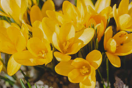 Yellow Crocus, crocuses or croci that blooms in the meadow. Crocus, plural crocuses or croci is a genus of flowering plants in the iris family. A single crocus, a bunch of crocuses, a meadow full of crocuses, close-up crocus Фото со стока
