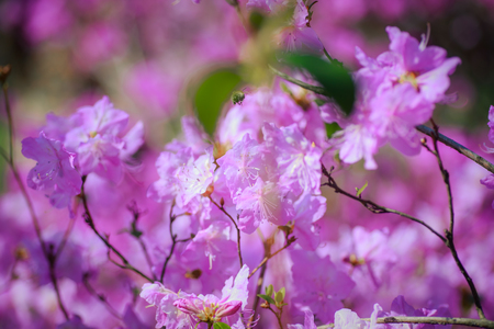 A bush of flowering azaleas against a background of trees in a blue haze.