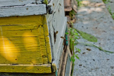 Flying honey bees. The bees return to the beehive after the honey collection. The bees return to the beehive after the honeyflow. Bee-guard in the beehive entrance. Swarm hived readily