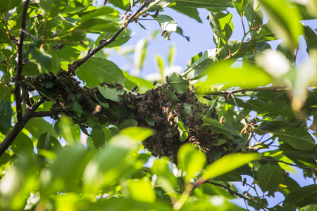 swarm of bees on a tree branch. A small bee swarm on a cherry branch in the garden near the apiary.