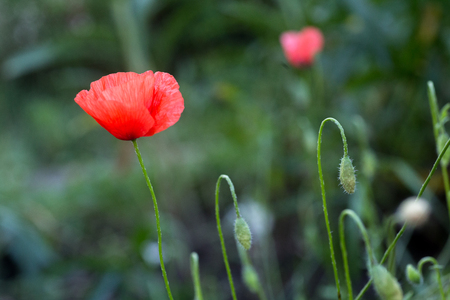 Papaver rhoeas, common, corn, Flanders, red poppy, corn rose, field is flowering plant poppy family Papaveraceae. Bees collect pollen from Papaver rhoeas. Honey plants Ukraine.