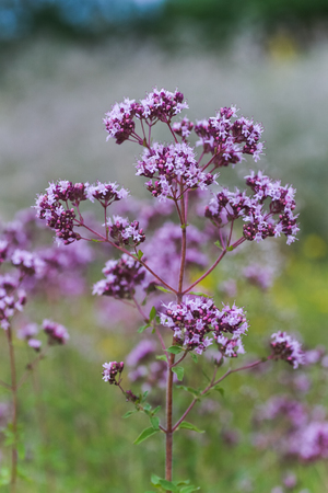 Origanum vulgare L., Oregano, wild marjoram, sweet marjoram purple flowers on a green background. Plant in the wild. Foto de archivo