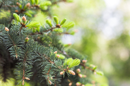 Świerk kłujący, świerk zielony, biały, świerk Colorado lub świerk kłujący, Picea pungens oddziałów z młodymi igłami. Naturalne tło z roślinami