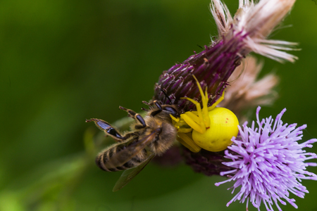 Cirsium arvense, a creeping thistle, like a purple flower truffle. The spider grabbed honey bee. Yellow spider eats prey.