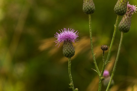 Cirsium arvense, a creeping thistle, like a purple flower truffle. Buds and dried flowers.