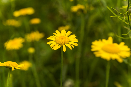 Yellow chamomile, Anthemis tinctoria, Cota tinctoria, the golden marguerite, oxeye chamomile, yellow flowers on the field. Honey plants of Europe.
