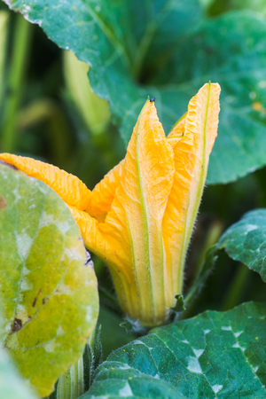 Huge yellow flowers of a pumpkin on a stalk. Pumpkin leaves.