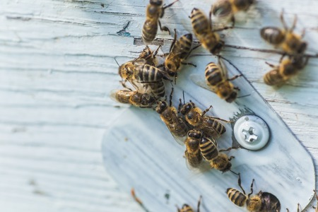 Many honey bees near entrance block, hive entrance block on wooden white hive. Banque d'images