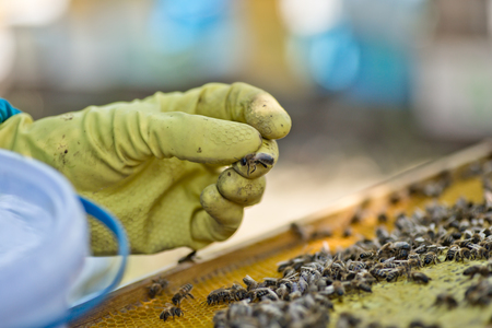 beekeeper selects bee drones for selection of sperm. Artificial insemination of queen bees. Bee products. Selective focus. Blured.