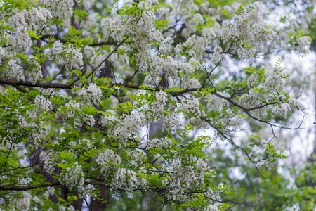 Branches of lush spring blooming white flowers tree acacia. Blooming clusters of acacia. Honey spring plant. Collect nectar. Branches of black locust Robinia pseudoacacia . Closeup, macro.