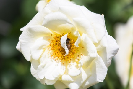 Bee on white rose. Bee near the pistil rose. Collect pollen from garden roses. Фото со стока