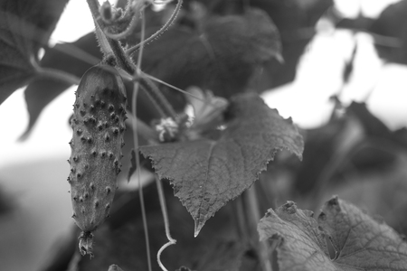 Cucumbers in a garden in village. Scourge of cucumbers on grid. bed of cucumbers in open air. One green ripe cucumber on a bush among the leaves. Cucumber on the background of the garden. Toning black and white. Free space. Copy space.