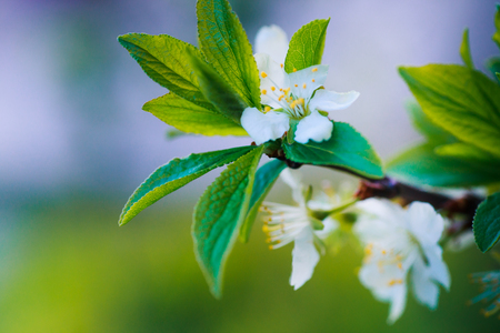 Prunus cerasus, sour cherry, tart , or dwarf, morello, amarelle, Montmorency cherry white delicate flower with young green leaves on a branch in spring.nature beautiful, spring nature.