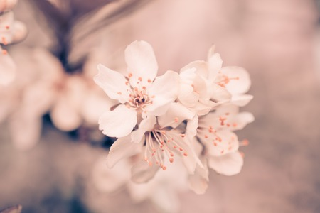 Prunus cerasus, sour cherry, tart , or dwarf, morello, amarelle, Montmorency cherry white delicate flower with young green leaves on a branch in spring.nature beautiful, spring nature. vintage background little flowers, nature beautiful, toning design spring nature, sun plants