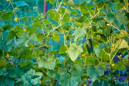 Cucumbers in a garden in village. Scourge of cucumbers on grid. bed of cucumbers in open air. Many green ripe cucumber on a bush among the leaves. Cucumber on the background of the garden. Free space. Copy space.