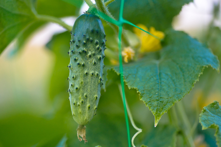 Cucumbers in a garden in village. Scourge of cucumbers on grid. bed of cucumbers in open air. One green ripe cucumber on a bush among the leaves. Cucumber on the background of the garden. Free space. Copy space.