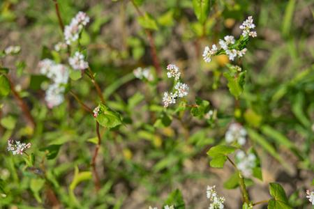 Flowering growing buckwheat plant in agricultural field. Zdjęcie Seryjne