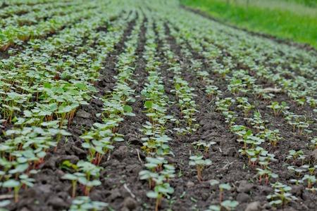 Field of sprout buckwheat on background of sky. Buckwheat, Fagopyrum esculentum, Japanese and silverhull buckwheat on the field. Close-up nurseling buckwheat