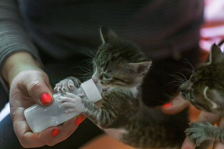 Little gray kitten drinks milk from a bottle. Feeding kittens without a nursing cat. Kittens on artificial feeding. Hand-feeding cute orphaned baby kitten with milk replacer in syringe,