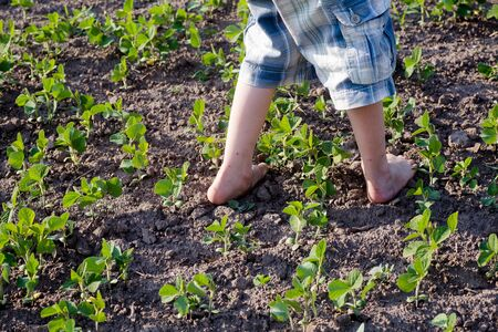 boy with bare feet is walking on growing in cultivated field with soybean sprouts. Growing soybeans in garden for organic products. Food without GMOs.