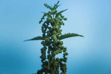 Nettle flowers and buds close-up. Summer flowering of medicinal plants. Huge nettle bush. Collection of healing herbs.