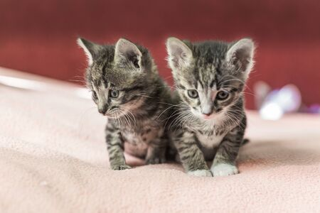 Two little kittens play on the bed. Domestic cats in a shelter. No one needs cats. Breeding cats from a domestic cat.