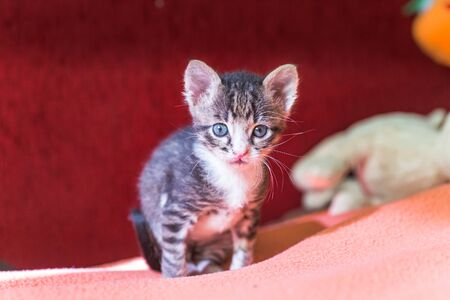 Funny kitten with big ears and mustache looks scared. small cat is tail-tail. gray striped Kitten is scared. Stock Photo
