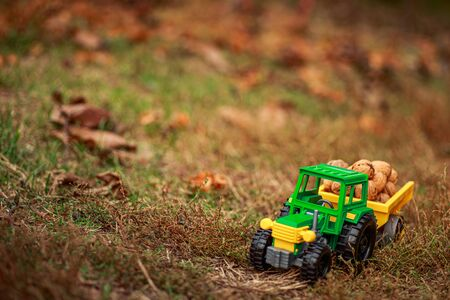 Green tractor carries nuts in the back. Toy tractor with a crop of ripe walnuts. Autumn photophone. Stock Photo