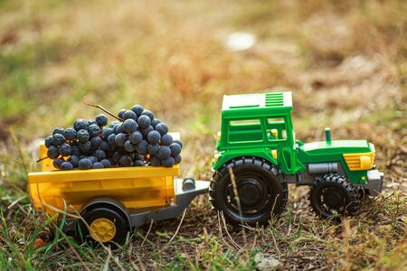 green toy tractor with trailer carries black ripe grapes. Harvesting concept Banque d'images