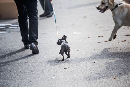 Little dog on leash. big dog rushes at small dog on street. Dangerous walking animals. Aggressive dog Imagens - 134940412