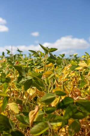 Field with ripened soy. Glycine max, soybean, soya bean sprout growing soybeans. Yellow leaves and soy beans on soybean cultivated field. Autumn harvest. Agricultural soy plantation background. Stock Photo