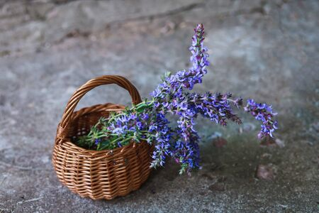 Salvia pratensis , meadow clary or meadow sage purple flowers in wicker basket from vine. Collection of medicinal plants during flowering in summer and spring. Plants to collect oil