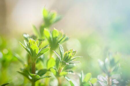 Galium aparine cleavers, clivers, Cleavers (Galium aparine) use in medicine for treatment of disorders grass close-up In spring Stock Photo