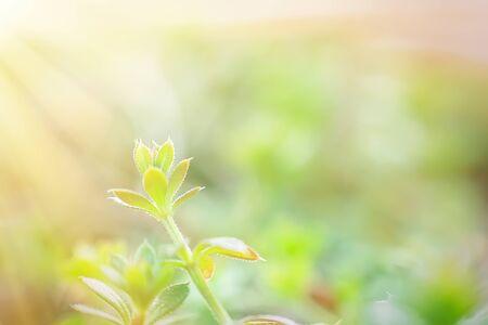 Galium aparine hakmessen, klavers, hakmessen (Galium aparine) gebruik in de traditionele geneeskunde voor de behandeling van aandoeningen van lymfestelsels, diureticum en als ontgifter gras close-up In het voorjaar
