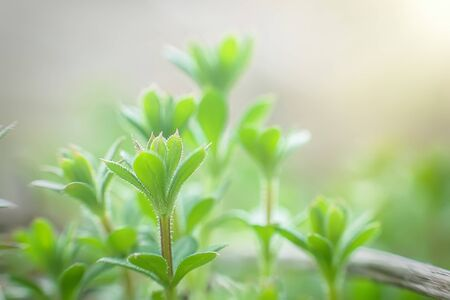 Galium aparine cleavers, catchweed, stickyweed, robin-run-the-hedge, sticky willy, sticky willow, stickyjack, stickeljack, and grip grass use in traditional medicine for treatment of disorders of lymph systems close-up In the spring