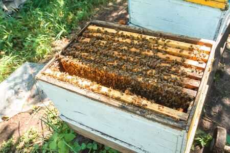 apiary in orchard. Open Hives among trees. Old wooden beehives in apiary. White hives. Bee-guard in beehive entrance. Swarm hived readily