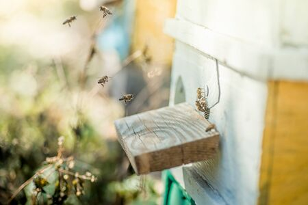 From beehive entrancebees creep out. Honey-bee colony guards on blue hive from looting honeydew. bees return to the beehive after the honeyflow. Bee-guard in beehive entrance. Swarm hived readily 版權商用圖片